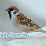 Tiếng chim Sẻ mồi mp3 - Tiếng bẫy chim sẻ thật đơn giản 2019