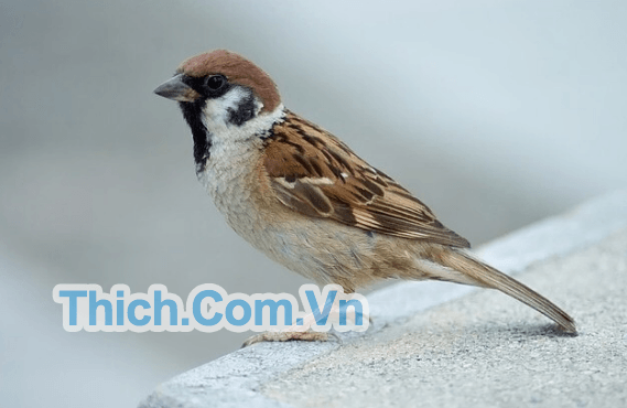 https://thich.com.vn/tieng-chim-se-moi.html