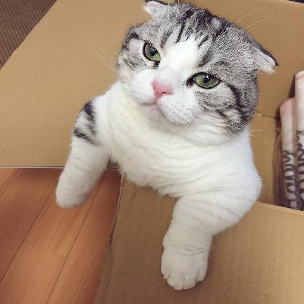 Chú mèo hoàng thượng người bí ẩn là giống mèo gì? Giá bao nhiêu?